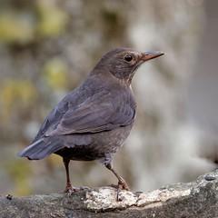 merle_A9A3491 (Bernard Fabbro) Tags: merle blackbird oiseau bird