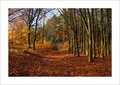 Autumn Beech Trees - vi (Steve-T201) Tags: sherwoodforest nottinghamshire beechtrees autumn colours