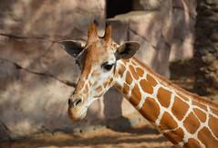 Reticulated Giraffe (Giraffa camelopardalis reticulata) (Seventh Heaven Photography) Tags: giraffe animal mammal emirates park zoo uae united arab nikond3200 giraffa giraffidae reticulated giraffacamelopardalisreticulata camelopardalis reticulata abu dhabi