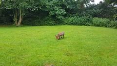 Inquisitive Fox Cub (video) (Clare_leeloo) Tags: foxcub fox vulpes mammals wildlife nature
