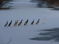 join the queue (achatphoenix) Tags: roadside winter ice water january januar rheiderland birds smileonsaturday oddoneout