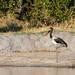 Saddle-billed Stork (Ephippiorhynchus senegalensis), Hwange National Park, Zimbabwe