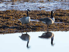 Canada Geese (Liam Waddell) Tags: birds sky bogside sssi flats irvine salt marsh ayrshire scotland canada geese water river sea weed