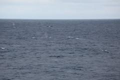 IMG_0331 (y.awanohara) Tags: humpbacks humpbackwhales whales whale southgeorgia scotiasea january2019 wildlife cetacean