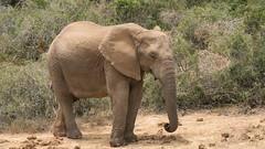 DSC08830 (Paddy-NX) Tags: 2019 20190109 addoelephantnationalpark africa elephant sony sonya77ii sonyalpha sonyalphaa77ii sonysal70300g southafrica wildlife