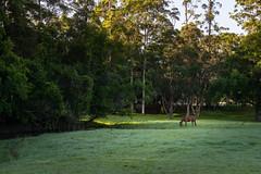C O N D E N S A T I O N (scatrd) Tags: 2018 landscape grazing sonya6000 australia sony rural nsw paddock landscapephotography country newsouthwales jasonbruth e1670mmf4ossziess green a6000 woolgoolga horse dew au