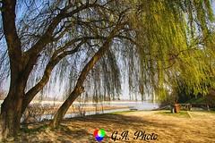 Quanti segreti all'ombra dei salici piangenti (Gianni Armano) Tags: quanti segreti allombra dei salici piangenti foto gianni armano photo flickr