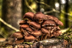 Familly (ToneMap) (Crofter's) Tags: autumn autumncolors autumn2018 trees tree mushroom fungi mushrooms agaricales physalacriaceae agaricomycetidae armillariamellea forest shadows underthetrees undergrowth underwood woods sony sonyalpha sony77ii sonya77ii sonyalpha77ii sony1650 sony1650mm crofterspictures
