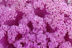 Rosy (Tery14) Tags: decorativecabbage colorful plant rosy ornamental kale flowering curly