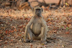 An with this I declare this meeting open for votes... ( baboon /bobbrjaan ) (Pixi2011) Tags: wildlife baboons krugernationalpark southafrica africa