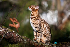 Lily on Tree (Andreas Krappweis - thanks for 3 million views!) Tags: bengal bengals kitten brown spotted bengalcat climbing tree autumn fall colors foliage shallowdof bokeh purebreed outdoor domesticcat maple garden canoneos1dsmarkiii canonef70200mm128l