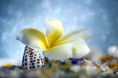 Holiday Bokeh in dream (Christian Chene Tahiti) Tags: canon 6d paea tahiti frenchpolynesia polynésiefrançaise pf polynésie holiday plumeria tipanier fleur flower jaune orange fleurdetipanier collier couronne dream rêve vacance macro bokeh bleu blanc shell closer closeup coquillage