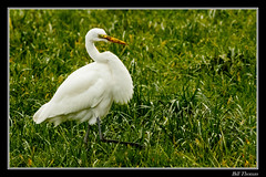 Great Egret-1 (billthomas_steel) Tags: greategret heronsegretscranesandbitterns ardeaalba bird egret earthworm wildlife grass pasture fraservalley britishcolumbia canada canon eos7dmarkii