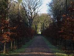 Beukenlaan renewed, Gaasterland (Alta alatis patent) Tags: gaasterland landscape beukenlaan rysterbosk renewal