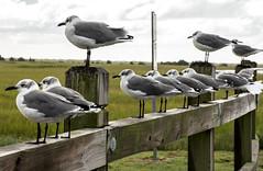 DSC_8357-2 (TDog54Photography / TCS Photography) Tags: birds north carolina coast nc east wings seagulls gulls seahore sea bird laridae sky clouds