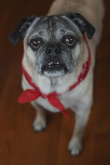 A face only a mother could love... (Melinda G Pix) Tags: animal pet canine pup pugle dog pug