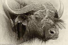 Cape Buffalo (Steve Clarridge) Tags: buffalo africa animals animalsbuffal buffaloeafrica buffaloemammalsuganda mammals mammalsuganda capebuffalo