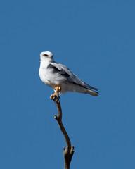 Black-Shouldered Kite (Jeff_Warner) Tags: blackshoulderedkite nikond500 nikon200500f56 bird birdsofpray