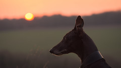 woody at sunset (Emma Varley) Tags: woody lurcher dog black profile backlit sunset warm peaceful walks winter pet