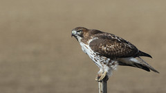 Red Tail Hawk (Bill G Moore) Tags: redtailhawk naturephotography birdofprey wild wildlife raptor canon colorado billmoore