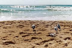 Surfers on Seagulls (Bathsheba Rabelais Patricia Cocteau Stone) Tags: queensland australia goldcoast beach water sand ocean surfersparadise seagull seagulls surfer prakticamtl5 prakticamtl 35mmfilm