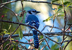 Da Blues (ACEZandEIGHTZ) Tags: cyanocittacristata bluejay bird avian nikon d3200 birdwatcher tree backyard bokeh blue color nature branches