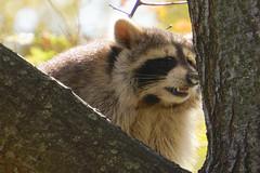 Foamy Nosed Daytime Racoon (cisc1970) Tags: sonyilce6300 sony sonya6300 brooklyn nyc prospectpark