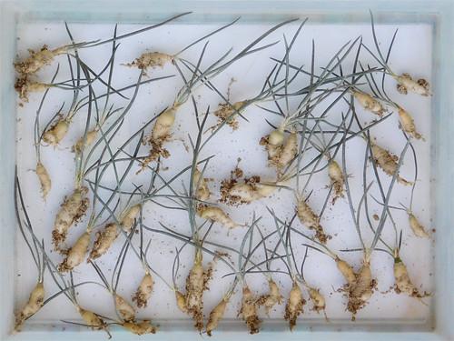 Astrophytum caput-medusae seedlings (Explore)
