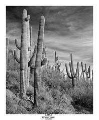 - A Veil Over the Moon - (claudiov958) Tags: arizona biancoenero blancoynegro cavecreek claudiovaldés černýabílý noiretblanc pretoebranco saguaro sony7rm3 sonyfe2470mmf4zaoss spurcrosstrail blackwhite cactus czarnyibiały ngc schwarzundweiss черноеибелое desert