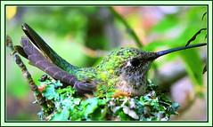 Mama Hummingbird (family Trochilidae) (FernShade) Tags: hummingbird familytrochilidae bird nest nestinghummingbird avian nature birdnesting birdbehavior fantasticnature