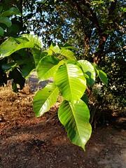 Sandoricum koetjape (Burm.f.) Merr. Meliaceae-santol 1 (SierraSunrise) Tags: กระท้อน esarn fruittrees isaan meliaceae nongkhai phonphisai plants santol thailand trees