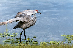 Sandhill Cranes in Central Florida (Nina10k) Tags: sandhillcrane sandhillcranes water central florida cflwetlands river bird nature wildlife preening wings