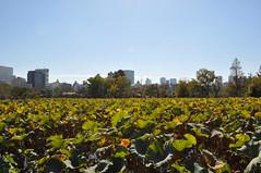 The oasis (DameBoudicca) Tags: tokyo tokio 東京 japan nippon nihon 日本 japón japon giappone ueno 上野 uenopark 上野公園 lotusleaves lotusblad lotus 蓮 はす 荷葉 かよう 蓮葉 はすは