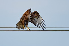 Dancing now ! (Elisabeth Lys) Tags: busevariable buse commonbuzzard nature orvault nikon d7200 sigma 150600mm contemporary oiseau bird rapace