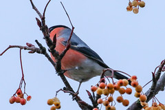 Bullfinch (Dougie Edmond) Tags: bird birds nature wildlife falkirk scotland unitedkingdom gb