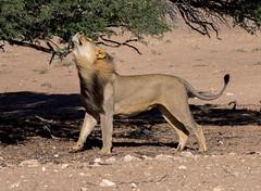 Sniffing (jaffles) Tags: southafrica südafrika kgalagaditransfrontier ktp olympus safari wildlife natur nature beautiful predator raubkatze