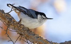 My Nuthatch Clock Says, 10 Minutes 'til 3... (Randy E. Crisp) Tags: randyecrisp randycrisp recrisp photography canon100400mmvii canon7dmkii paristexas brush sticks stump winter centralflyway