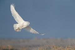 Snowy Owl (johnbacaring) Tags: snowy owl snowyowl wildlife nature canon photography beach sea sand big birdsofprey bif birding canonphotography