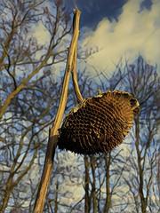 Sonnenblume zum Jahreswechsel 2018 / 2019 (wb.fotografie) Tags: dormagenrheinkreisneussniederrheinnordrheinwestfalendeutschland sonnenblumekorbblüterpflanzehelianthuskrautigepflanze