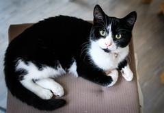 Fernando II (Chilanga Cement) Tags: fuji fujix100f fujifilm fujix xseries x100f 100f cat catsofflickr cats kitty kit feline colour