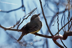 Cassin's Kingbird 48 (ahmed_eldaly) Tags: sandiego california usa nature birds birding wildlife photography egyptianphotographer