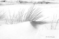 dune grass in winter - Sand Point, Munising (TAC.Photography) Tags: blackandwhite monochrome bw snow winter grass dunegrass puremichigan