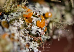 Witch's Butter (Kathy@dornickdesigns) Tags: kathyhardyphotography macrophotography myhandmadelife winter2019 lichen ouryard
