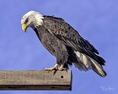 North American Bald Eagle (Hawg Wild Photography) Tags: north american bald eagle skagitcountywashington skagitvalley raptor bird nature wildlife sigma 150600 contemporary terrygreen hawg wild photography