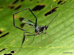 Parasitic wasp with Mites, Pelecinus sp. (Ecuador Megadiverso) Tags: andreaskay ecuador hymenoptera mite parasiticwasp pelecinidae pelecinussp proctotrupoidea wasp wildsumaco