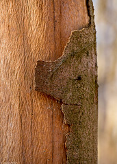 Beech bark (Donard850) Tags: england northyorkmoors uk yorkshire bark beechtrees peeling tree treetrunk
