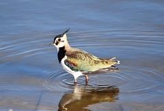 Lapwing (Bazza3000) Tags: vanellusvanellus lapwing bird abberton water