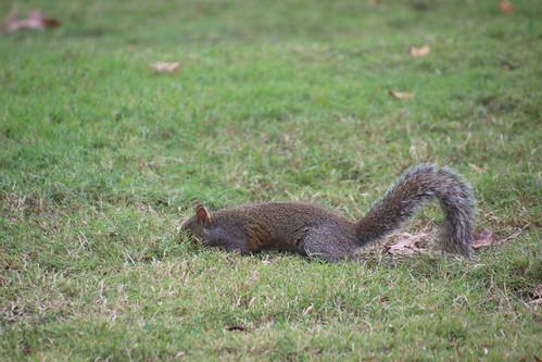 Eastern Grey Squirrels in Marion Square (Charleston, South Carolina) - November 5th through 8th, 2018