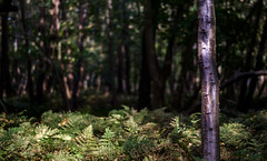 Fern forest (Wouter de Bruijn) Tags: fujifilm xt2 fujinonxf56mmf12r fern ferns tree trees birch bark forest light sun sunlight landscape bokeh depthoffield westhove mantelingen oostkapelle veere walcheren zeeland nederland netherlands holland dutch outdoor plant green