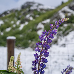 Levitating lupins (OzzRod (on the wallaby)) Tags: pentax k1 smcpentaxfa31mmf18 plant weed flower lupin fence snow arthurspoint queenstown newzealand